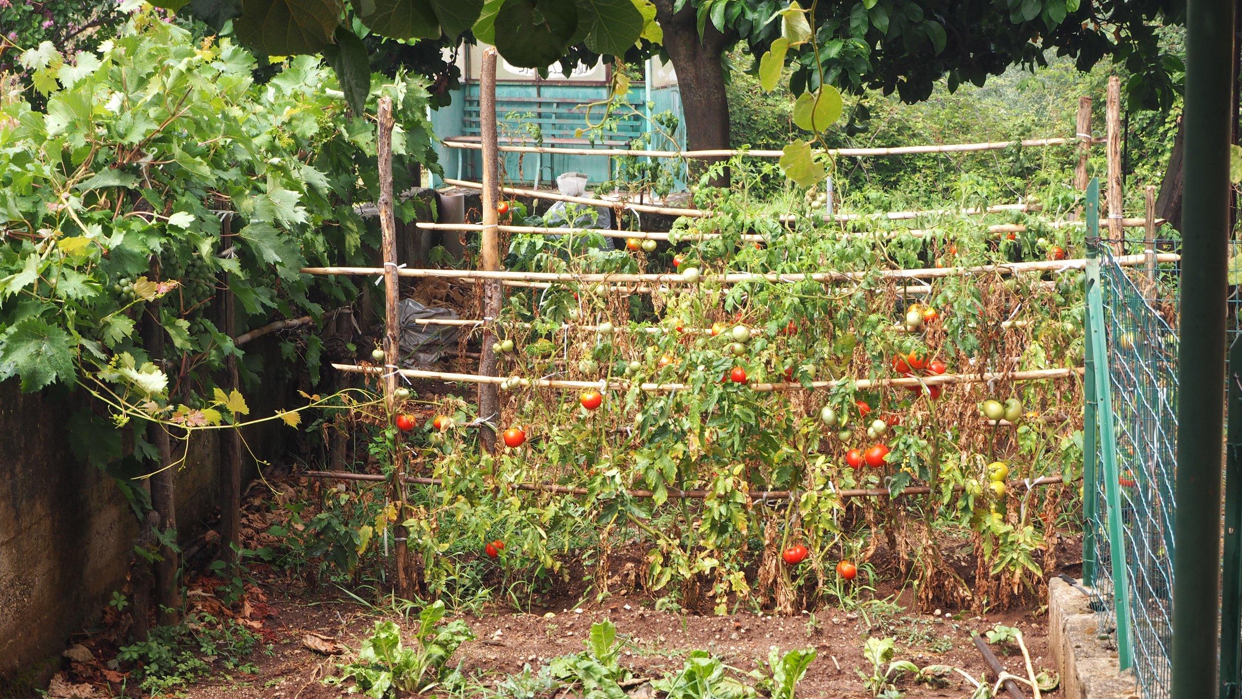 tomatostaking.jpg