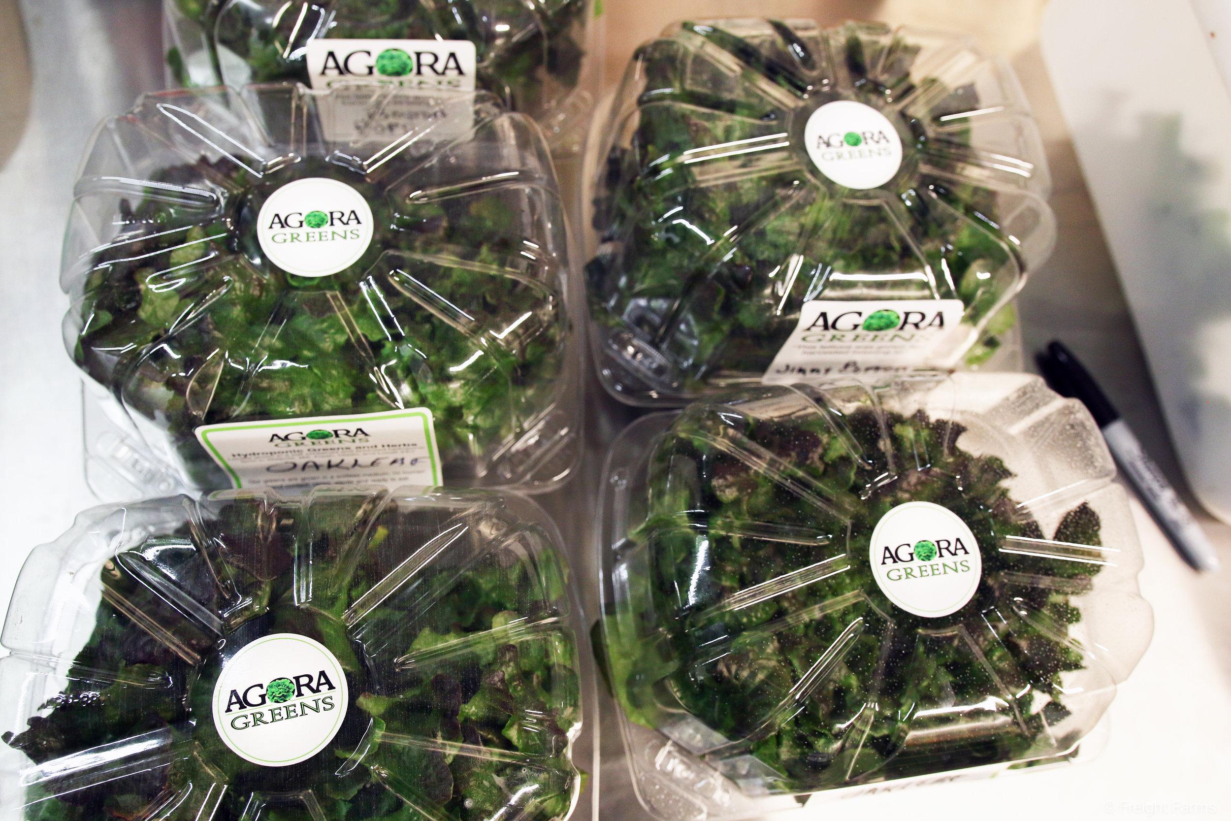 Clamshells of freshly harvested lettuce.