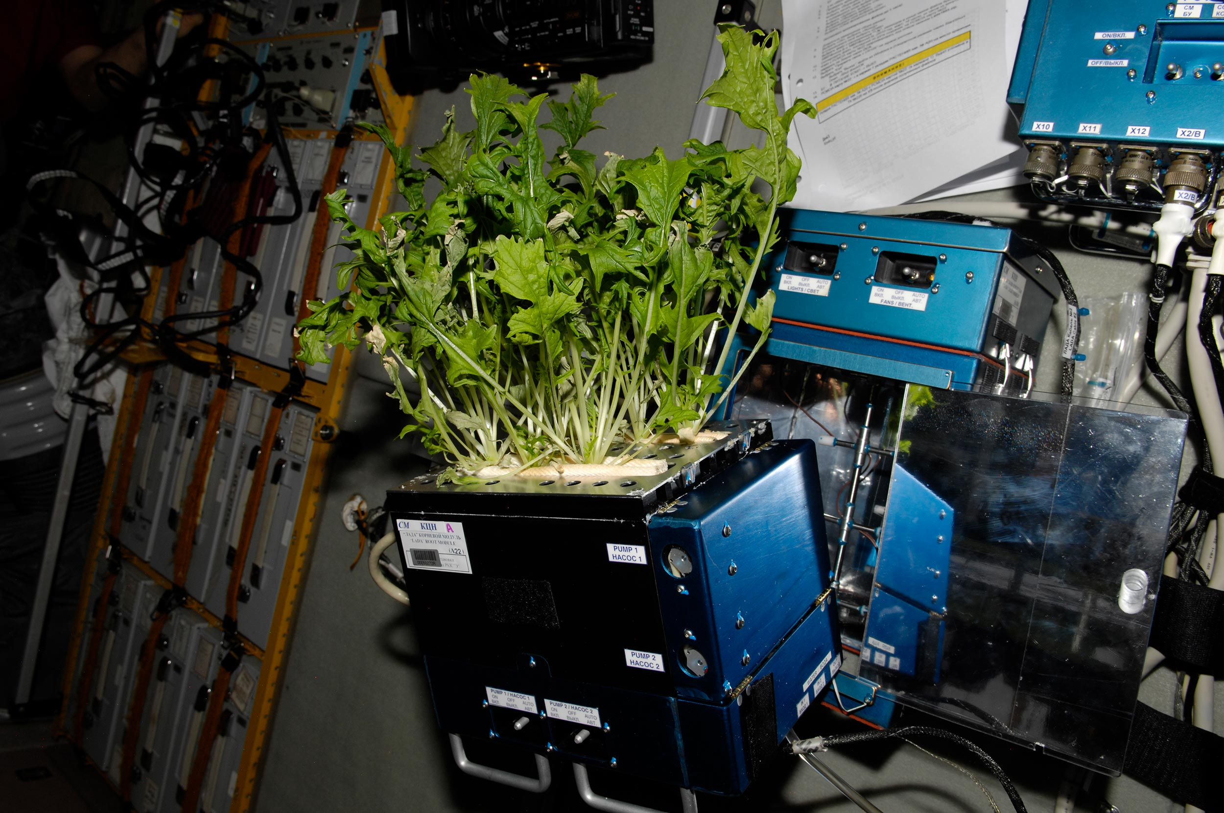 Mizuna lettuce growing aboard the International Space Station Photo:  NASA