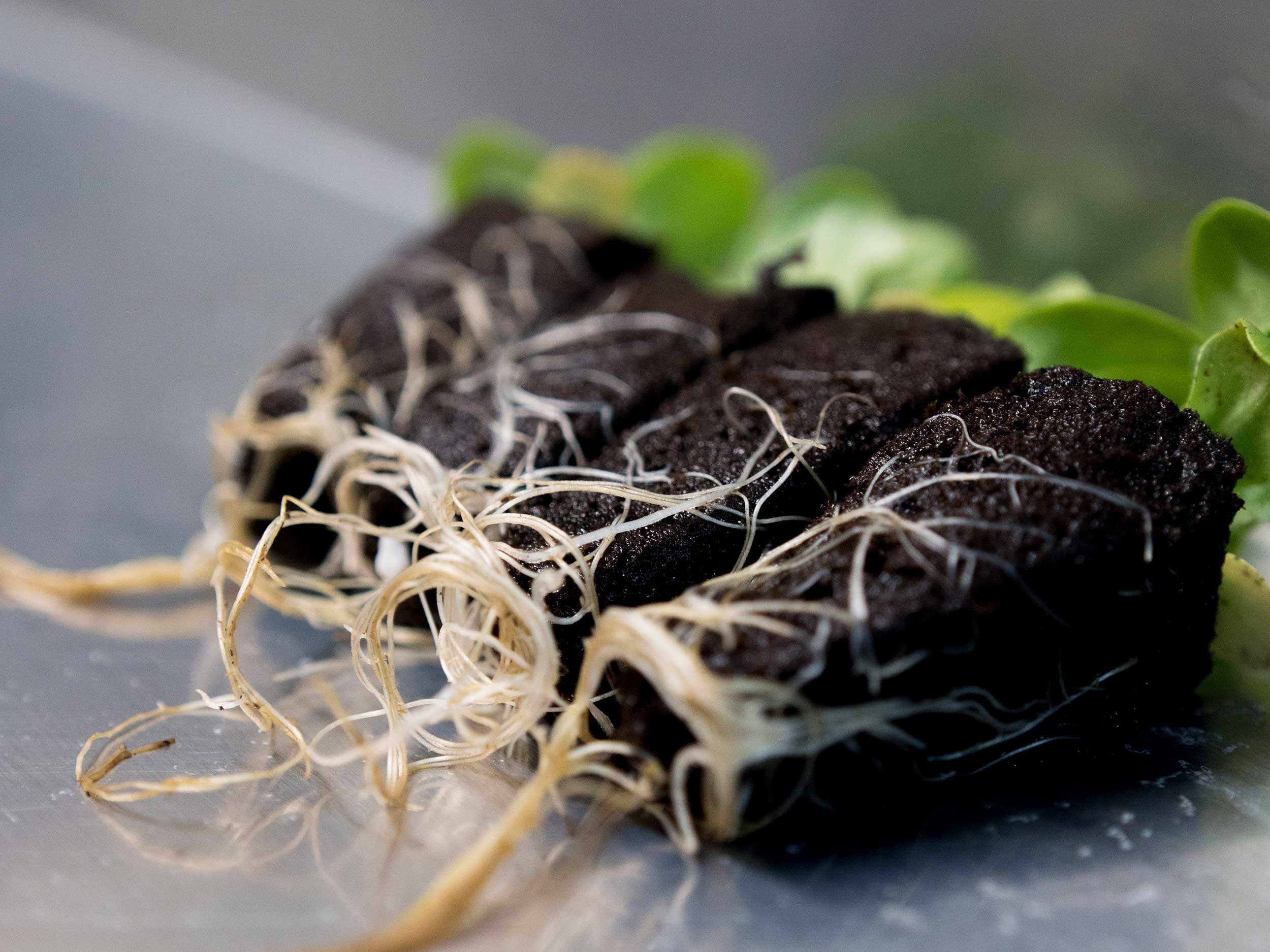 LGM_seedlings_with_roots.jpg