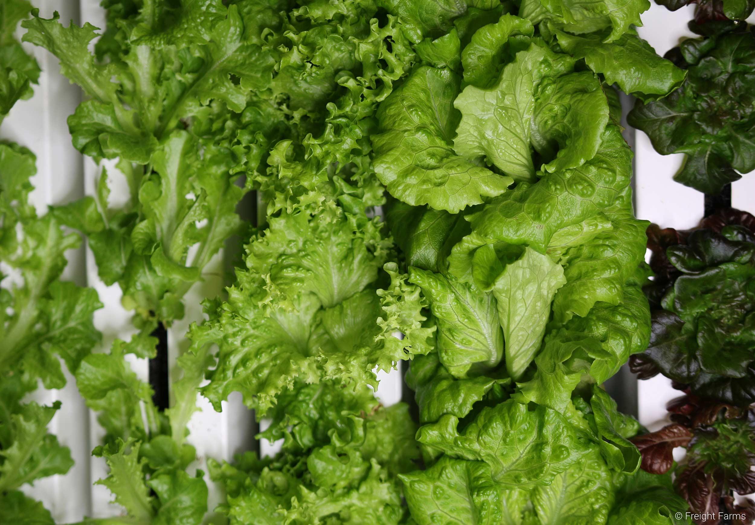 Freight Farms_Boston_Interior_Lettuce_1.jpg