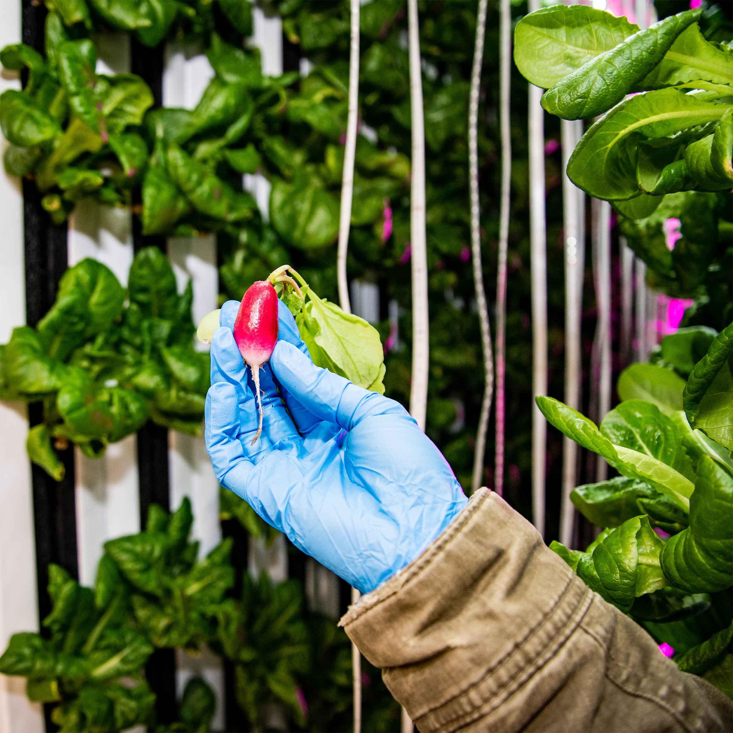 radish-harvest.jpg