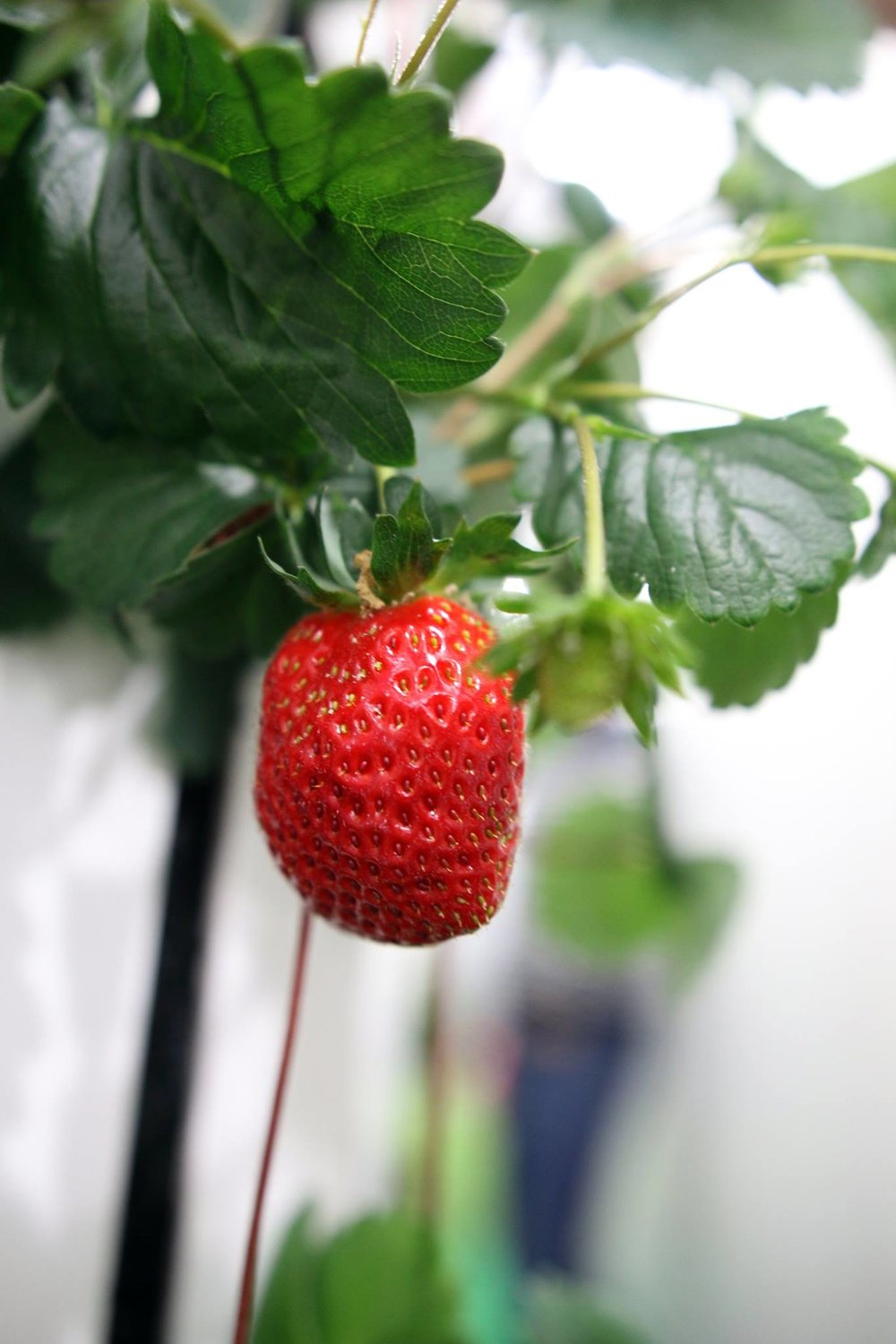 Freight-Farms-strawberry.jpg