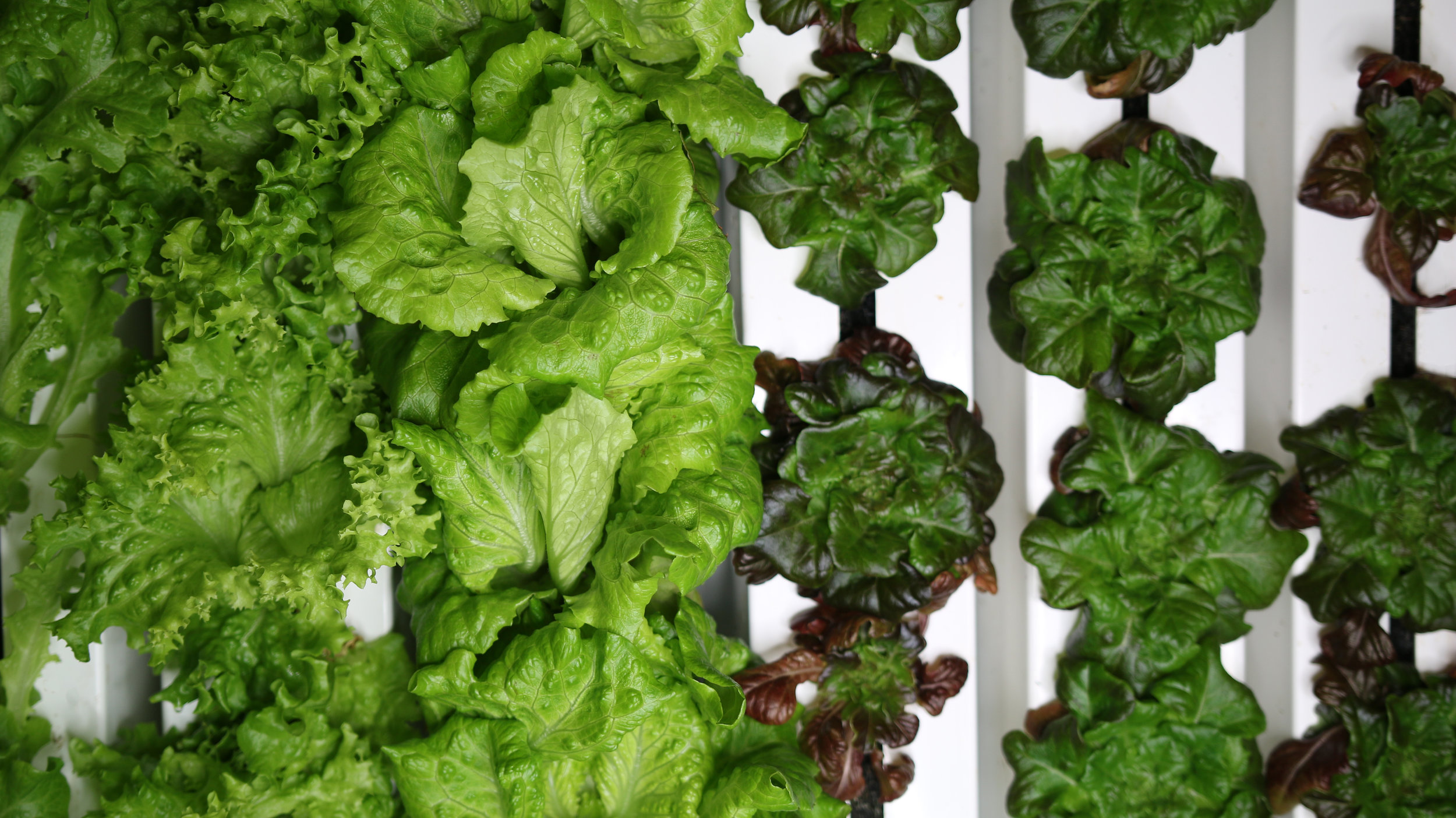 """Right now we are growing a variety of large and mini head lettuce, kale, kalettes, arugula, mustard greens and herbs like cilantro, dill, parsley, and sorrel.""     Oasis Springs Farm"