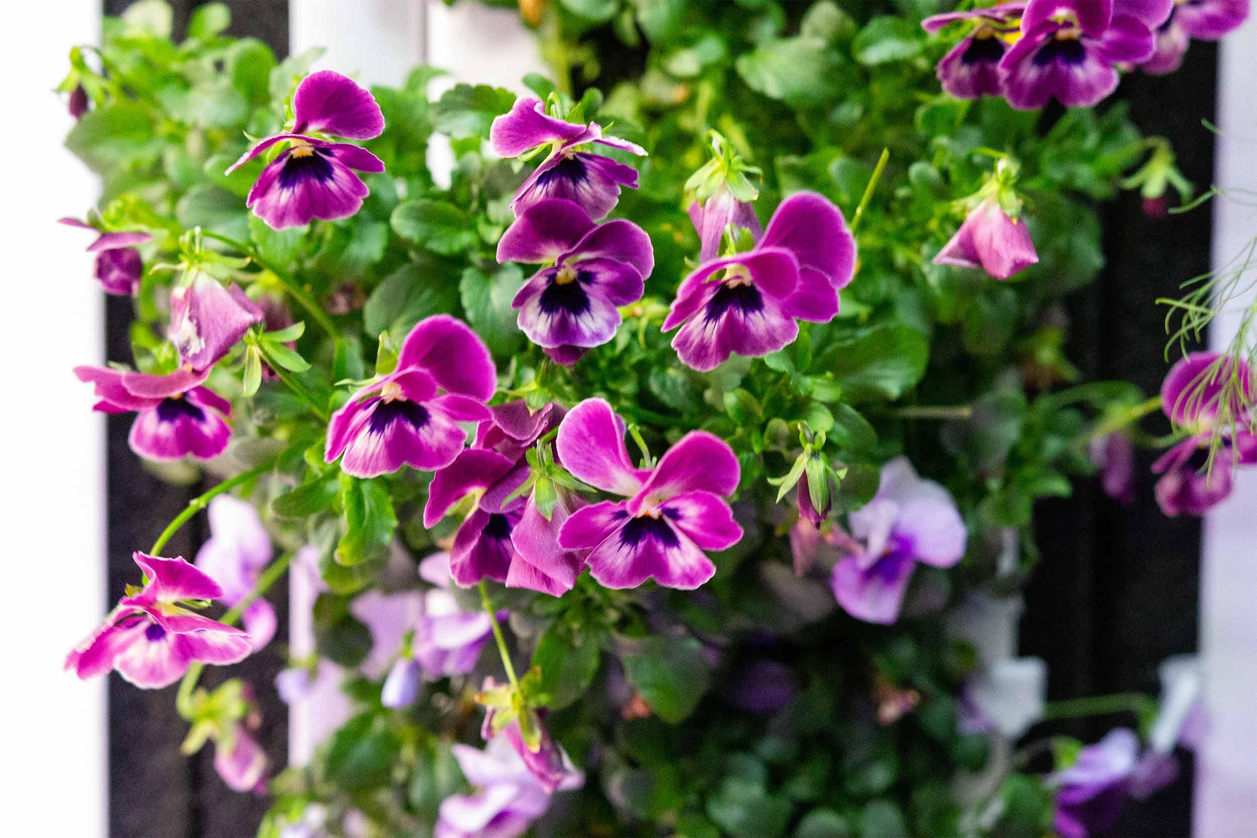 Sorbet Mix Violas