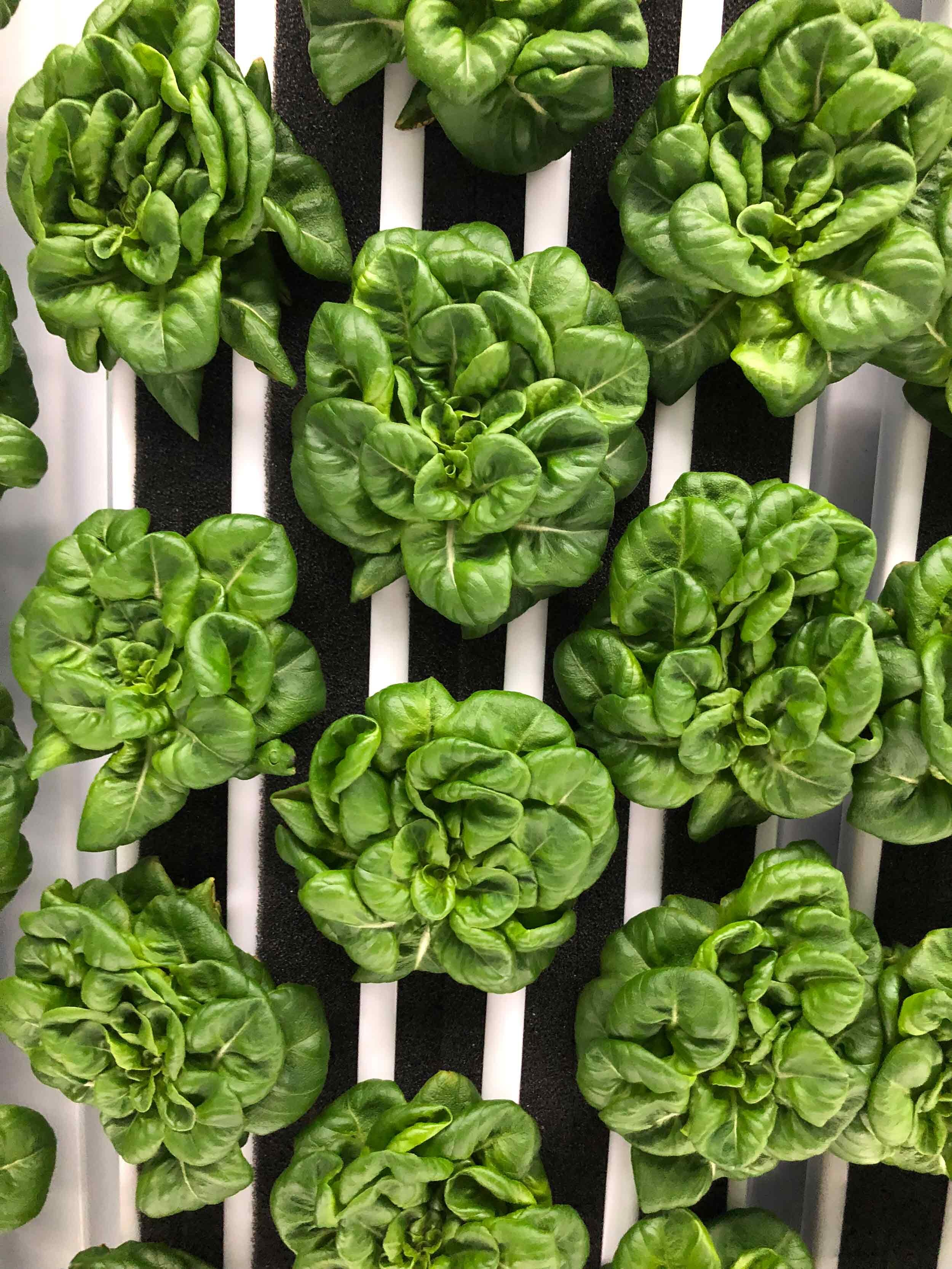 4-week Green Butterhead lettuce growing vertically in the Greenery's 5-channel plant panel.