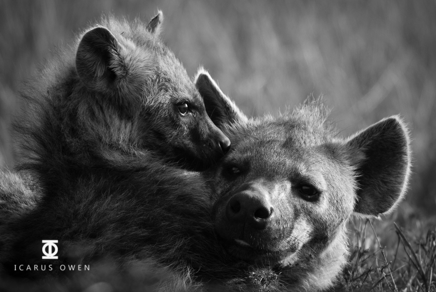 Spotted hyena (Crocuta crocuta) mother and baby