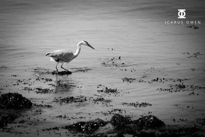 Grey-Heron-Aberdeen-Harbour-Icarus-Owen-2.jpg