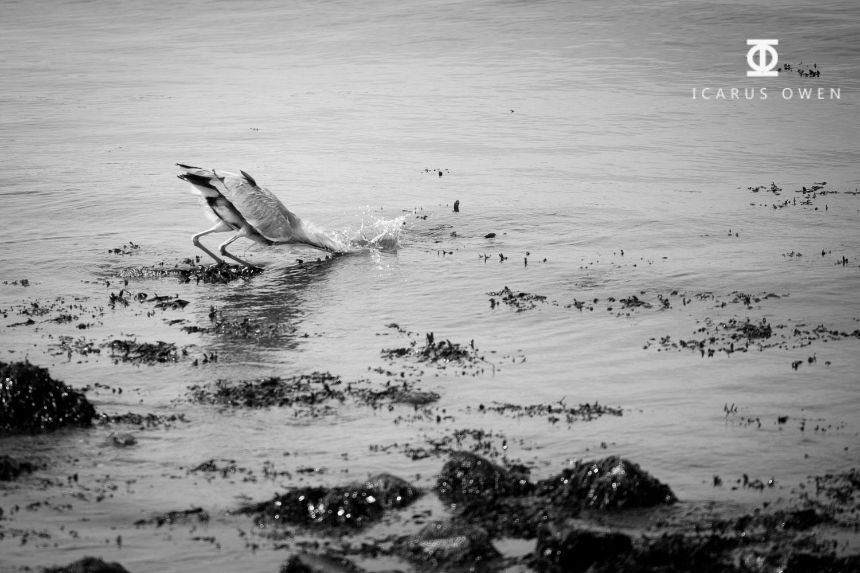 Grey-Heron-Aberdeen-Harbour-Icarus-Owen-3.jpg
