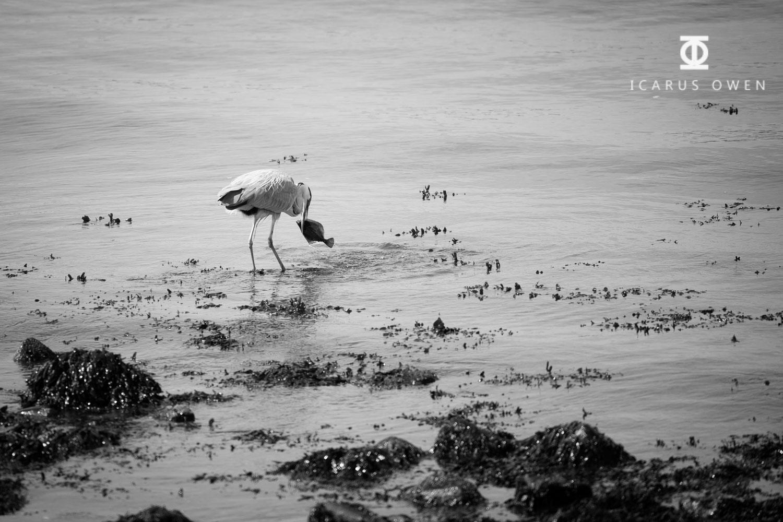Grey-Heron-Aberdeen-Harbour-Icarus-Owen-4.jpg