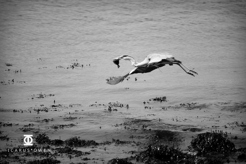 Grey-Heron-Aberdeen-Harbour-Icarus-Owen-6.jpg