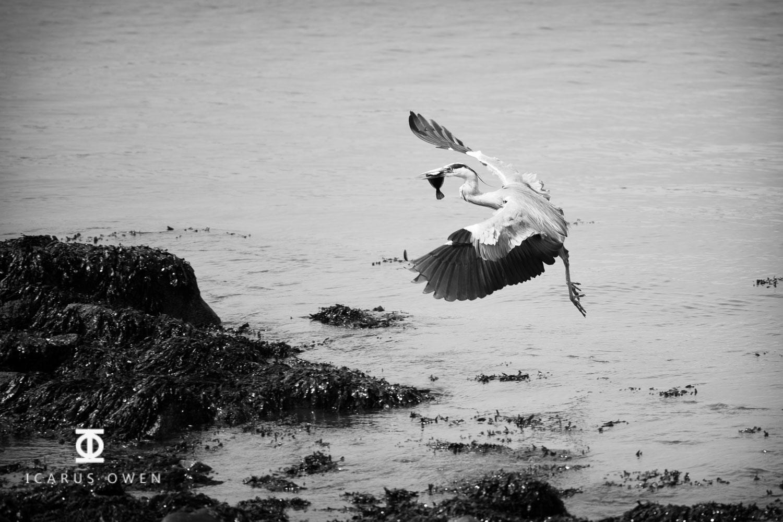 Grey-Heron-Aberdeen-Harbour-Icarus-Owen-7.jpg