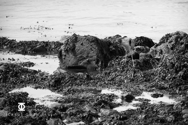 Grey-Heron-Aberdeen-Harbour-Icarus-Owen-9.jpg