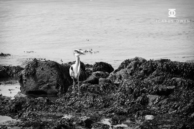 Grey-Heron-Aberdeen-Harbour-Icarus-Owen-11.jpg