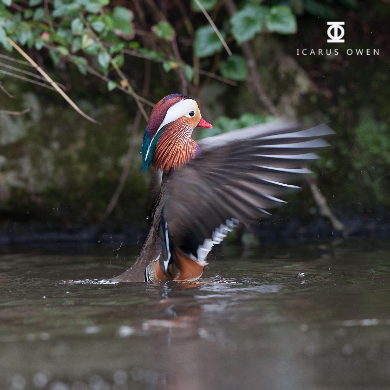 Mandarin duck (Aix galericulata), Aberdeen
