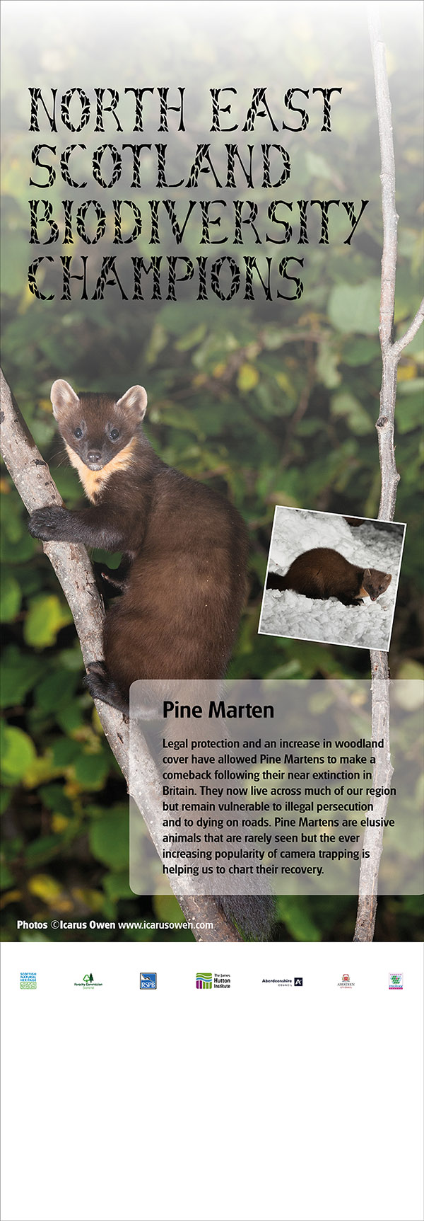 Pine marten images on North East Biodiversity Partnership pull-up