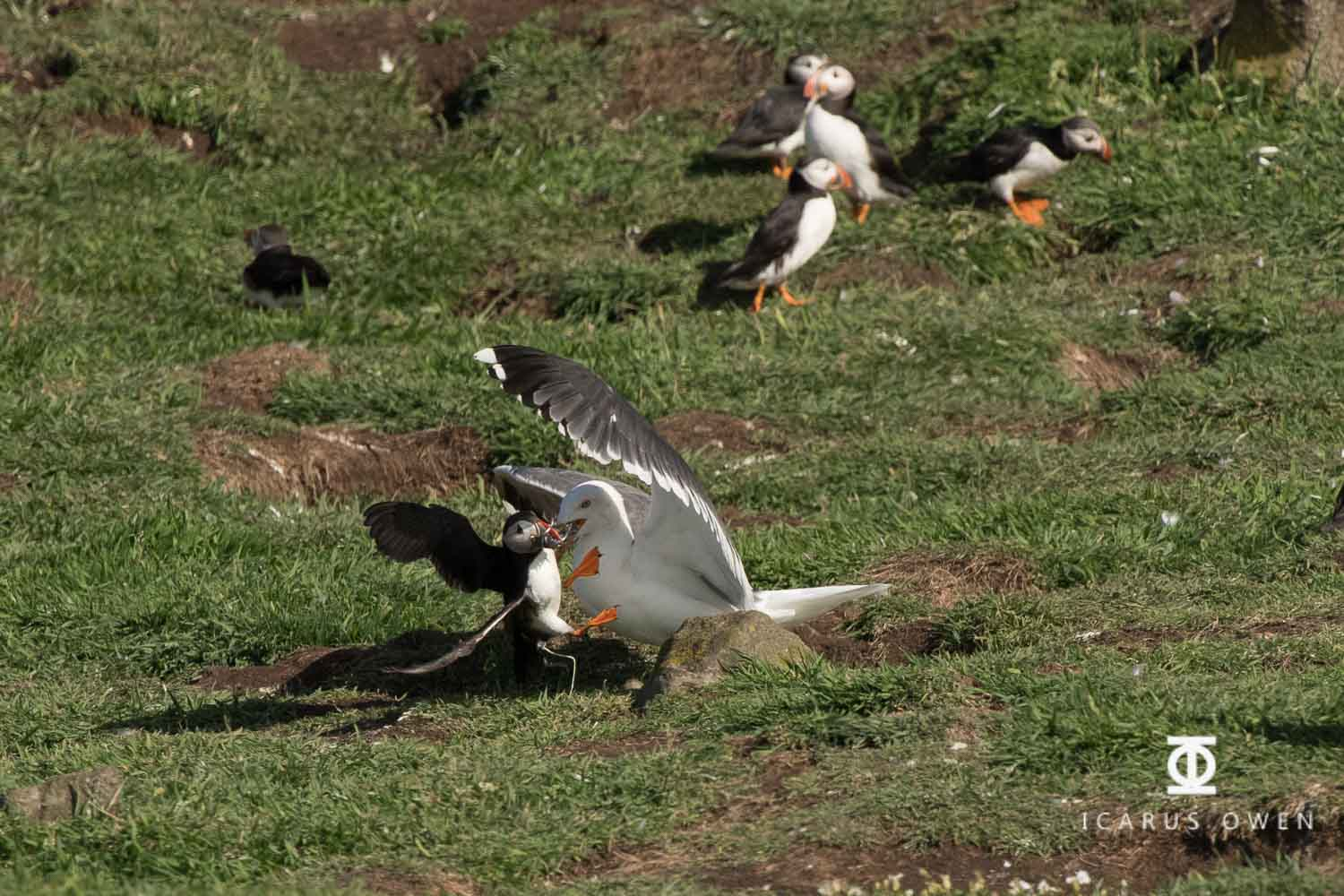 Kleptoparasitism-Puffin-Black-Backed-Gull-Icarus-Owen