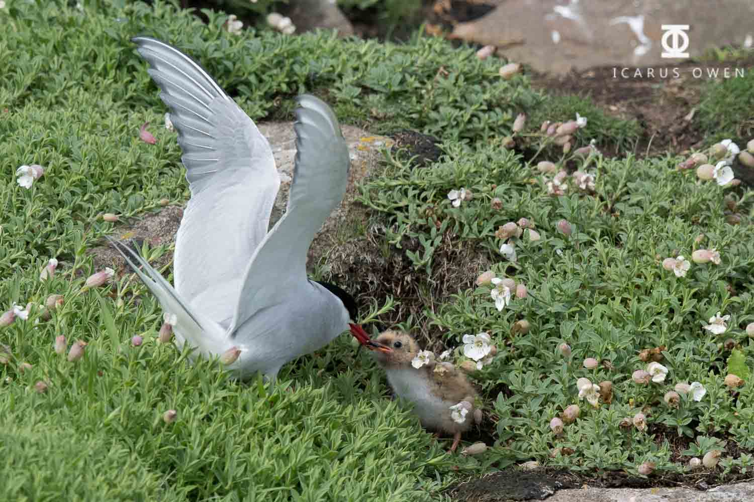 Young arctic tern chick being fed small fish.