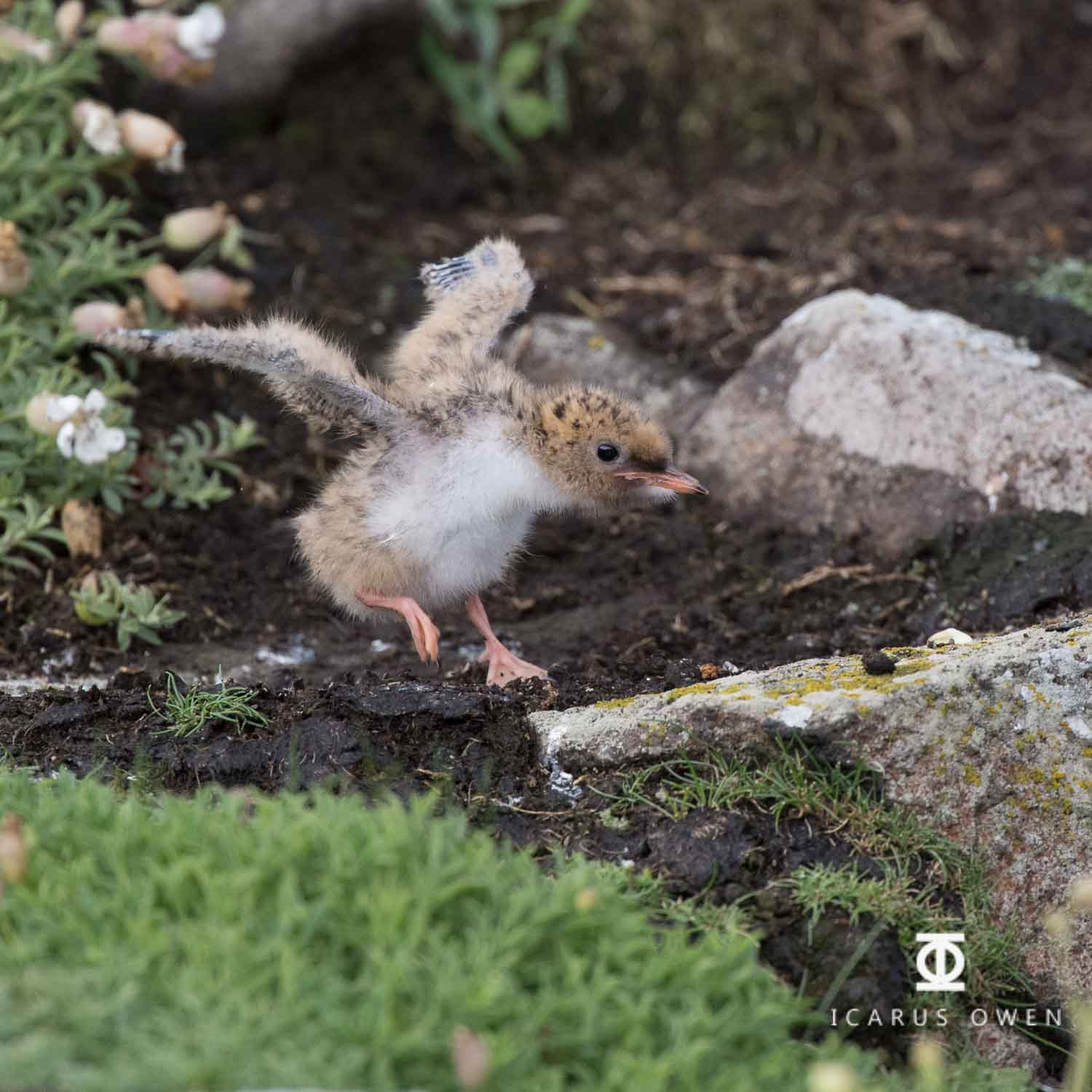 Young arctic tern chick testing wings.