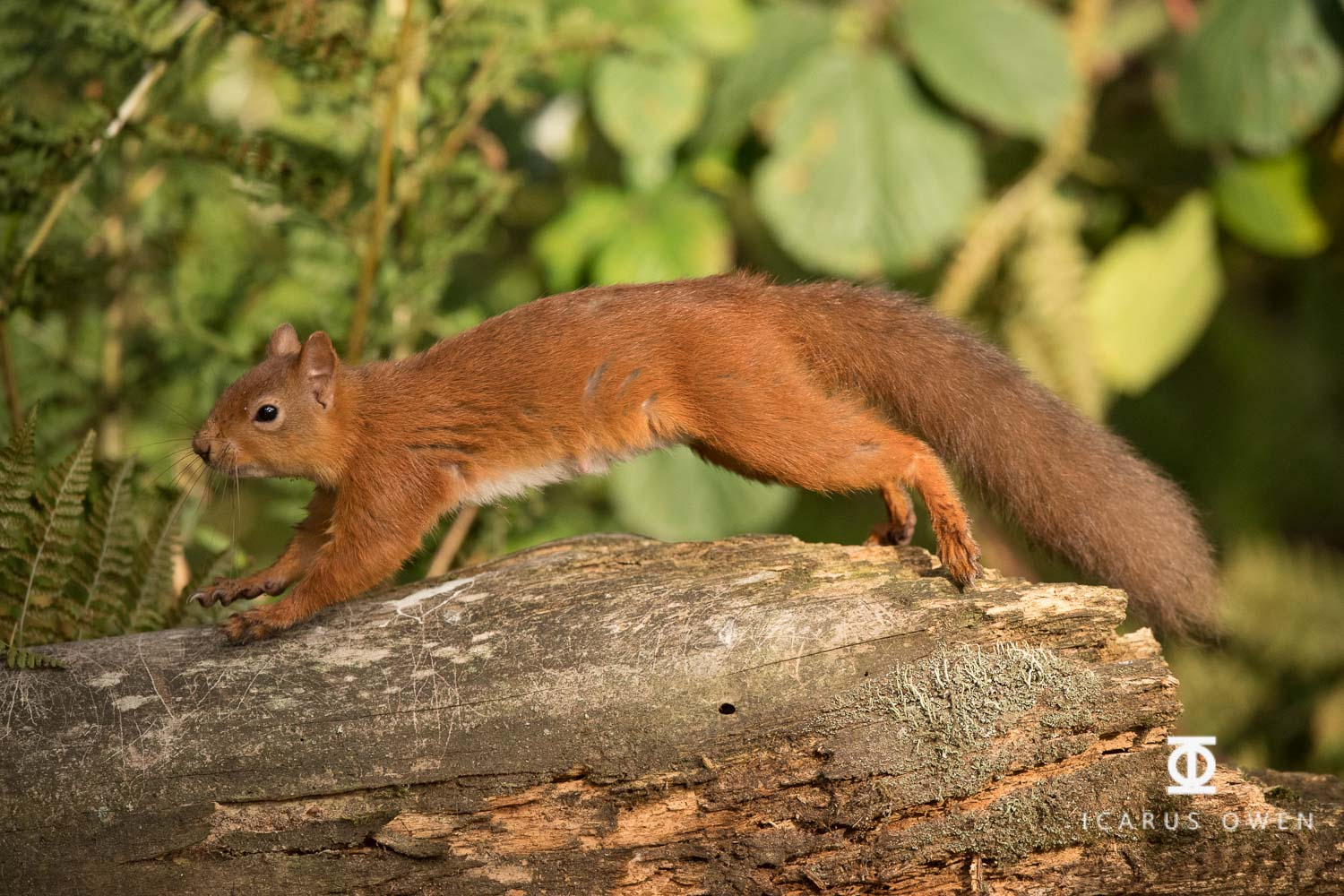 Red squirrel leaping onto log, Aberdeenshire.