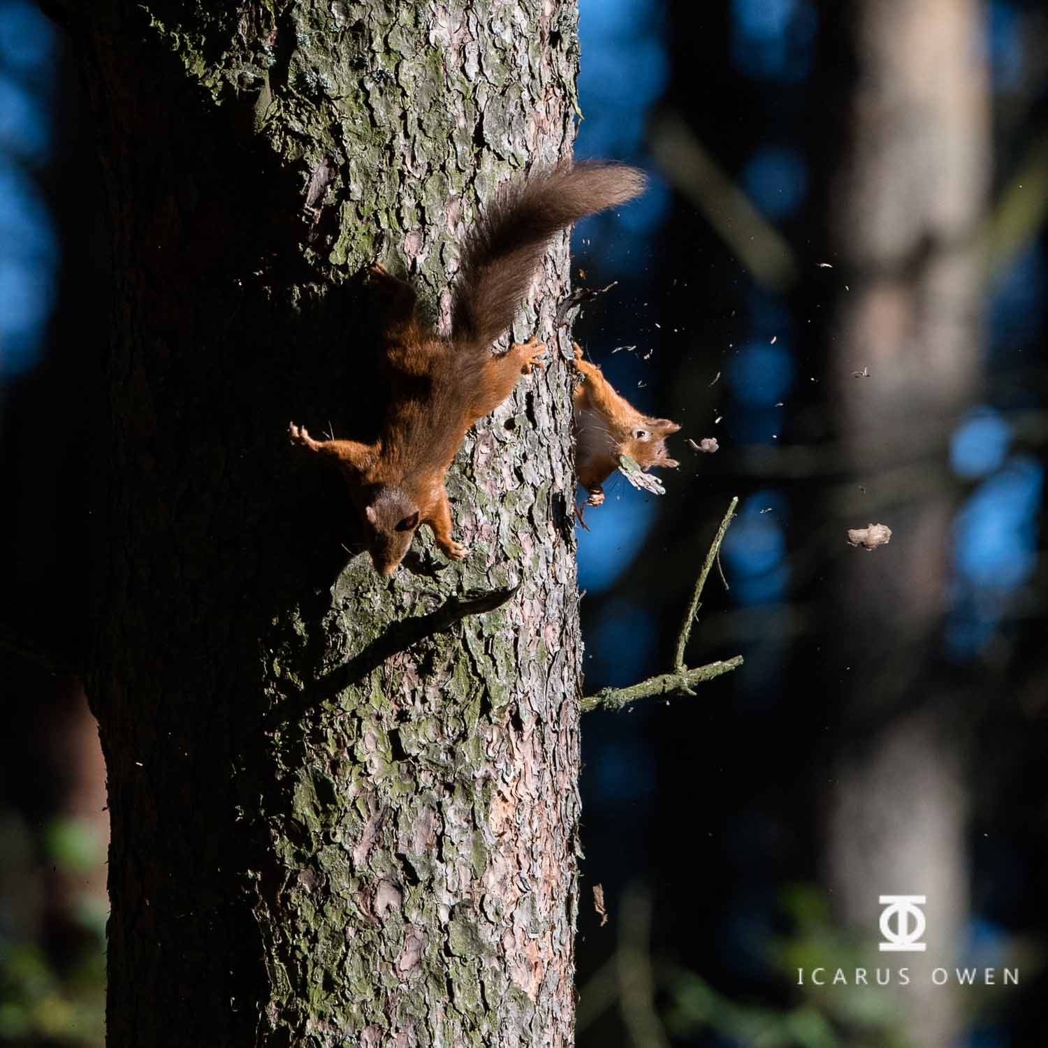 Two red squirrels chasing each other. Bark debris thrown up from their feet.