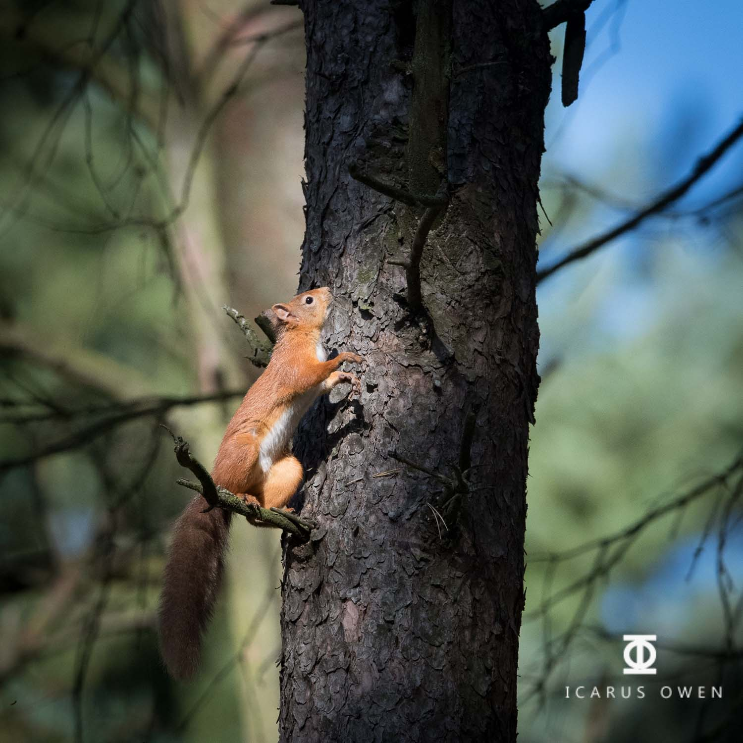 Red squirrel about to jump in dappled woodland light.