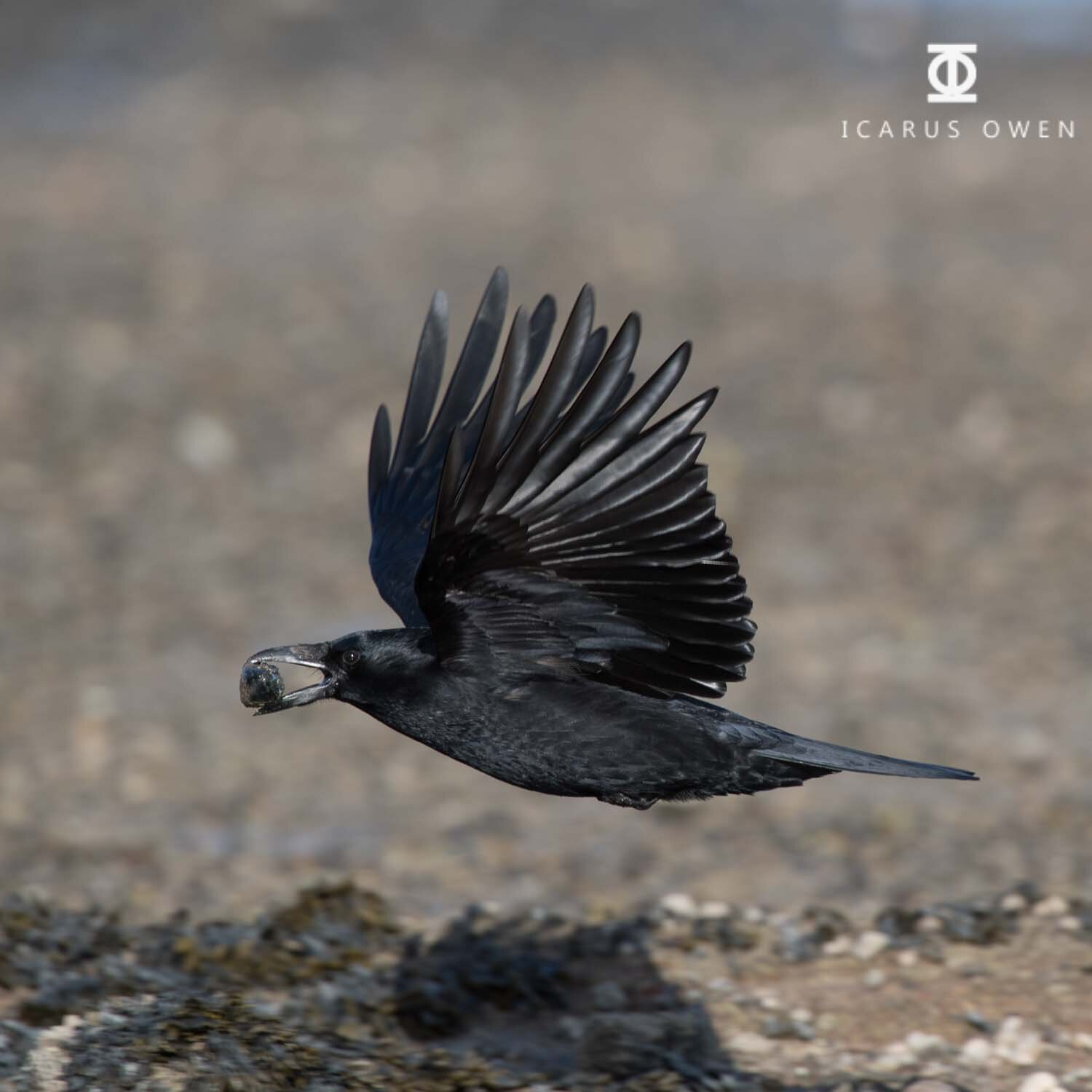 Crow flying with mussel taken at Ythan Estuary, Scotland.