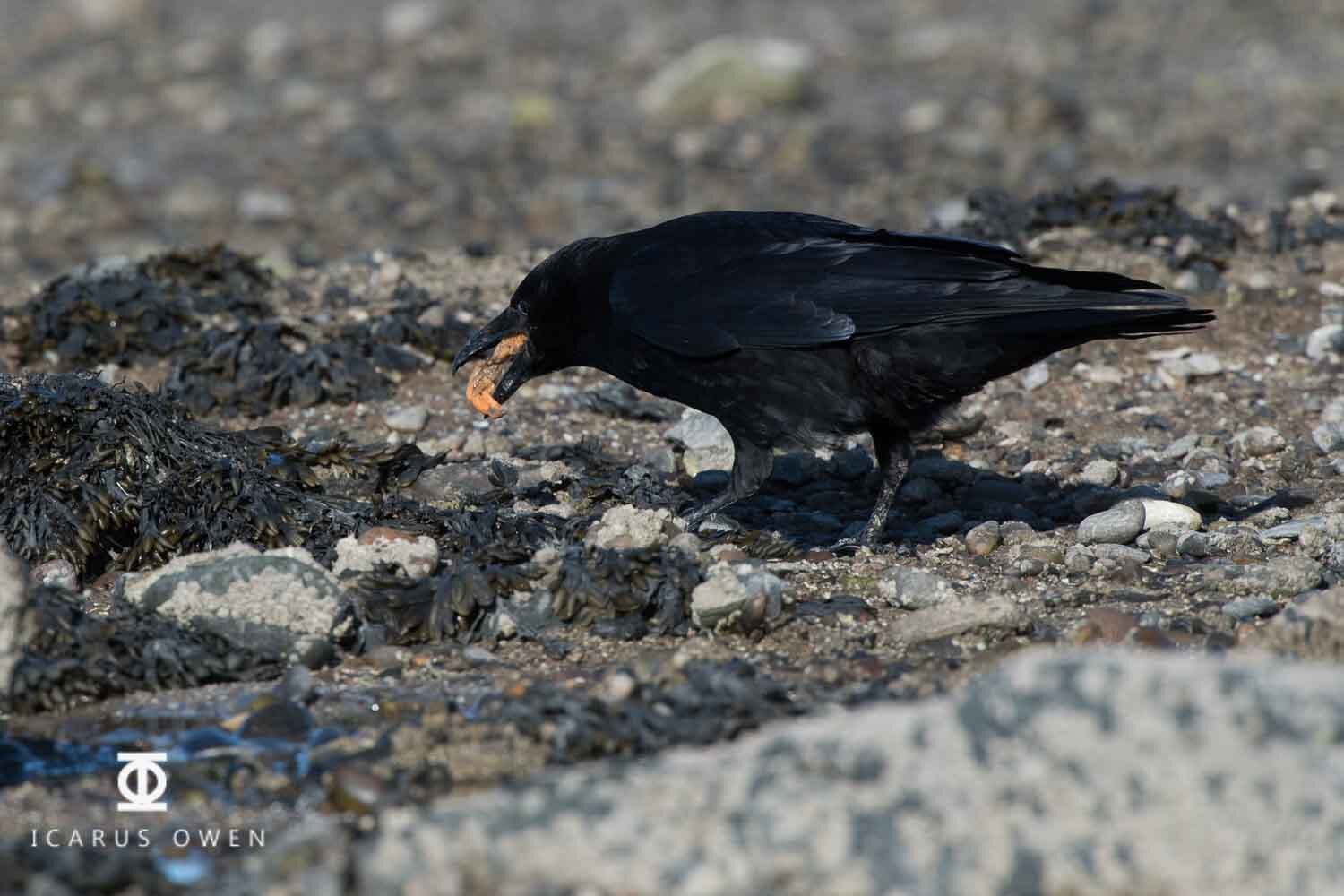 Crow eating mussel at Ythan Estuary, Scotland.