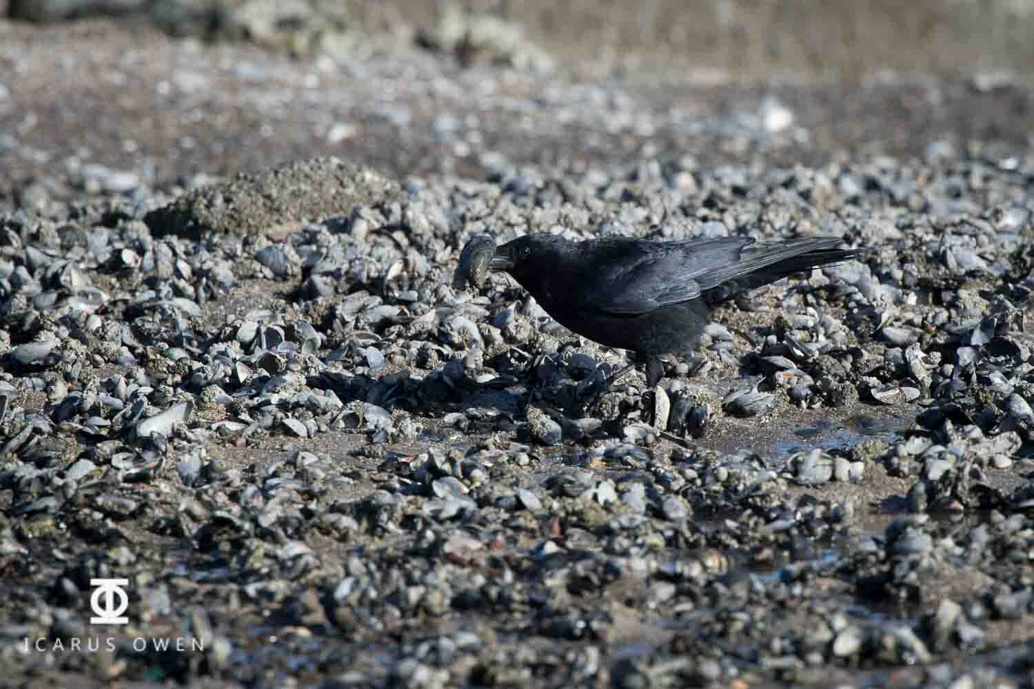 Crow picking mussel from Ythan Estuary at low tide.