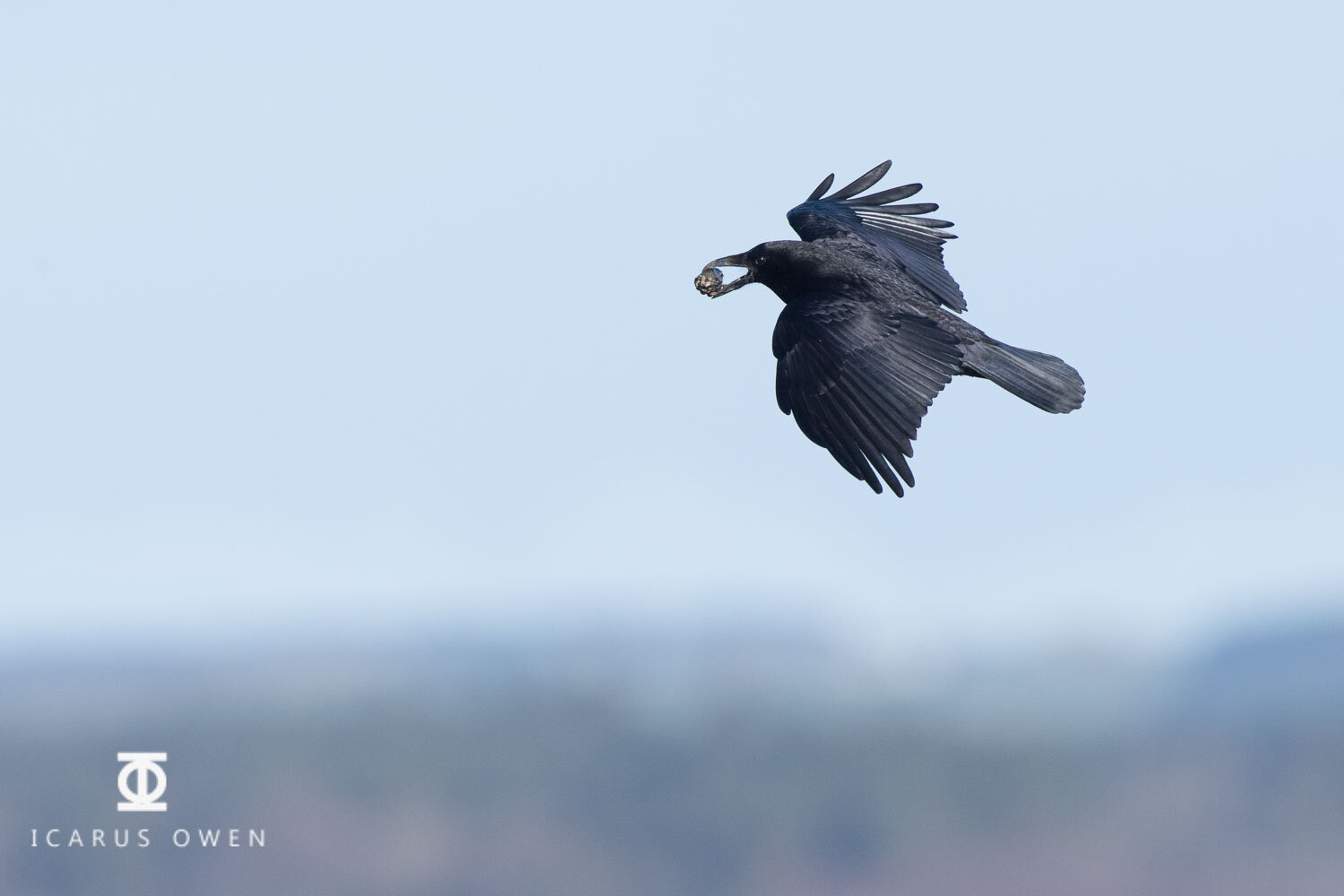 Crow flying with mussel before releasing it.