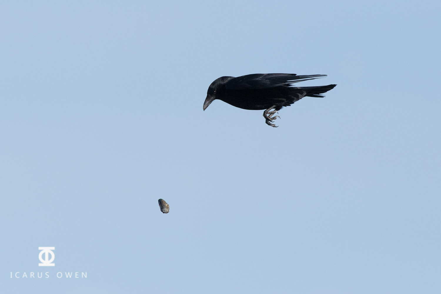 Crow dropping mussel from a height.