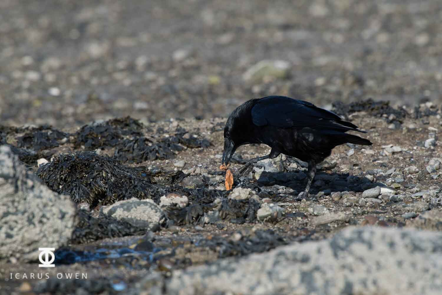 Crow manipulating a mussel with a broken shell to extract the meat.