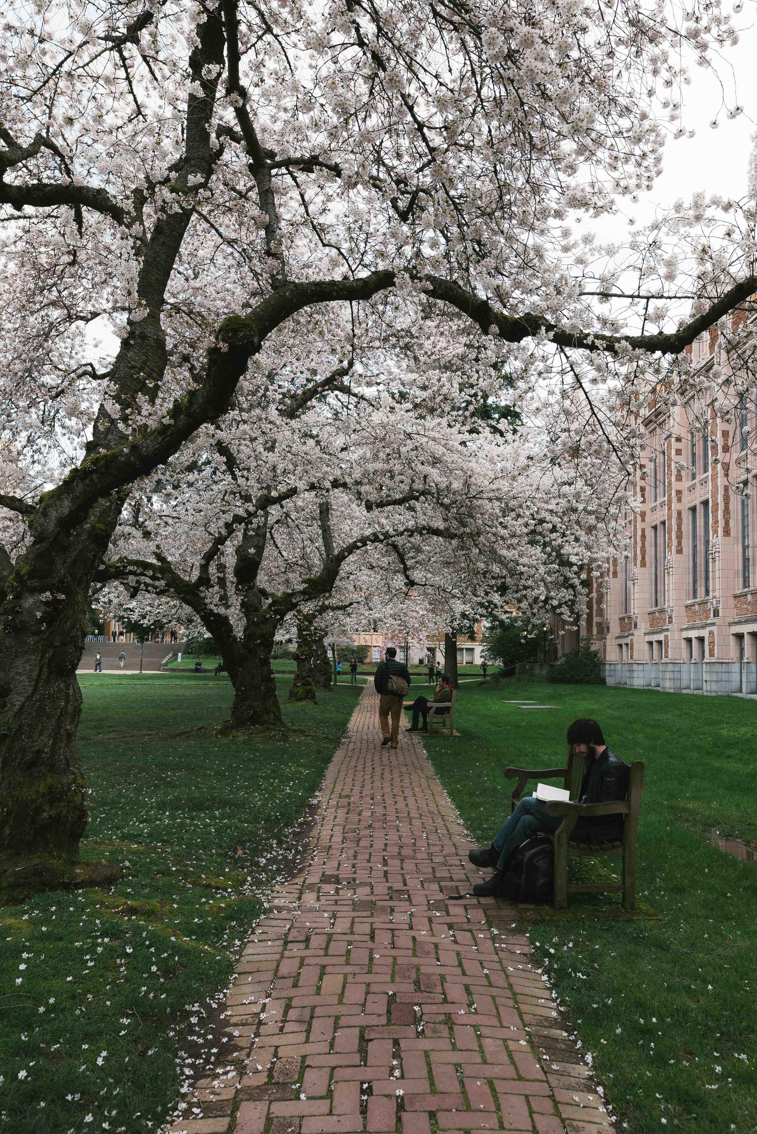 University of W Cherry Blossoms.jpg