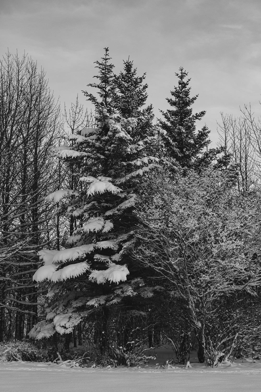 Snow Covered Tree Portrait B+W.jpg