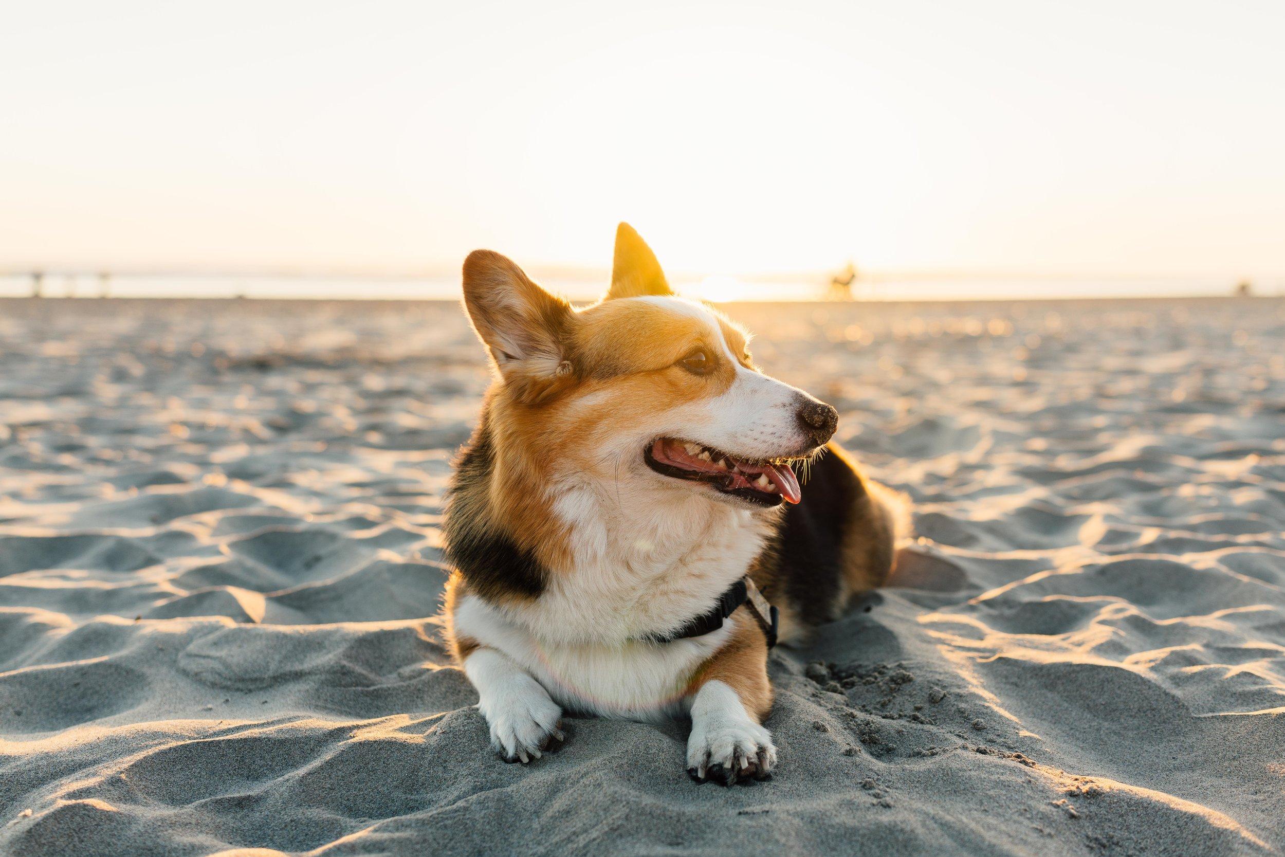 beach corgo.jpg