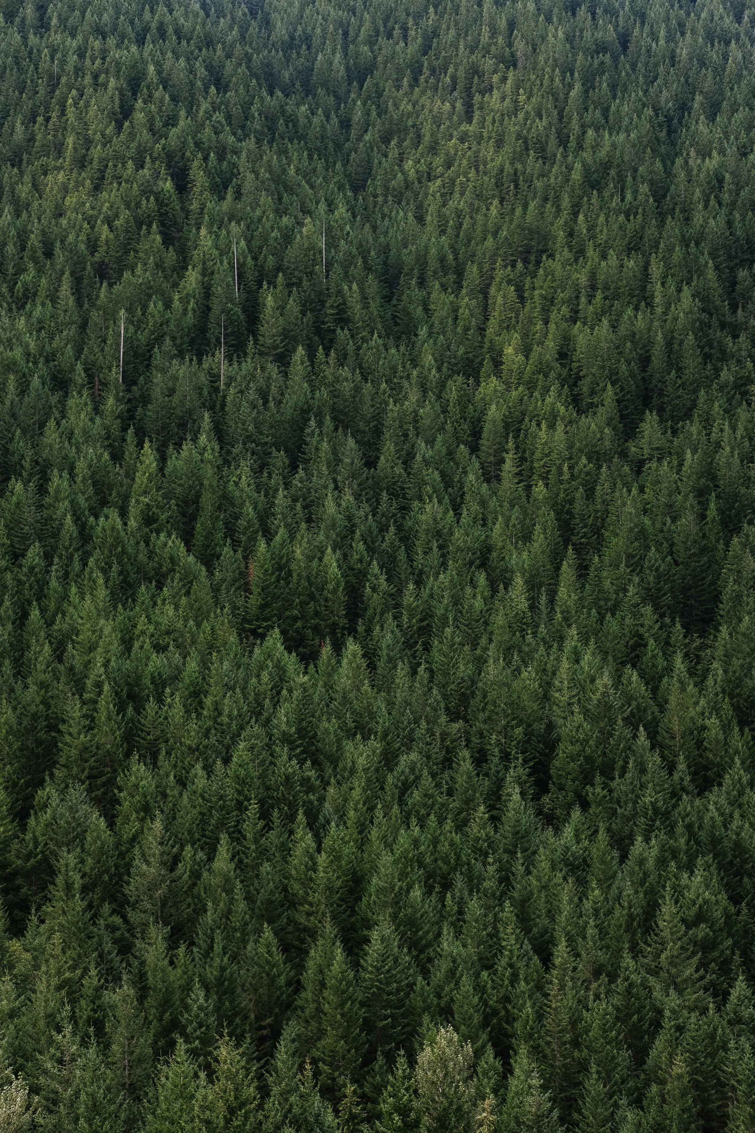 Mount Hood Trees.jpg