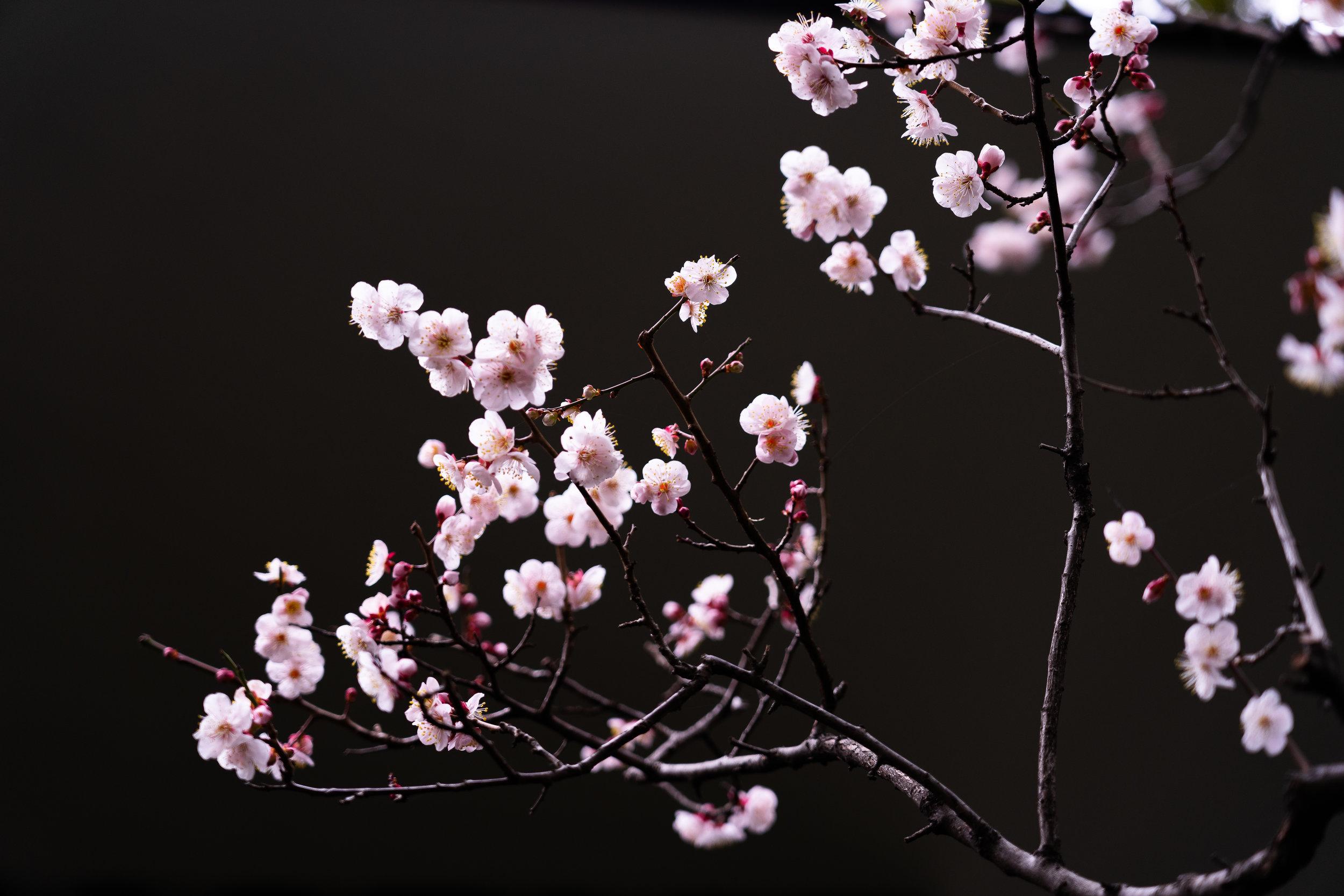 Tokyo Cherry Blossoms.jpg