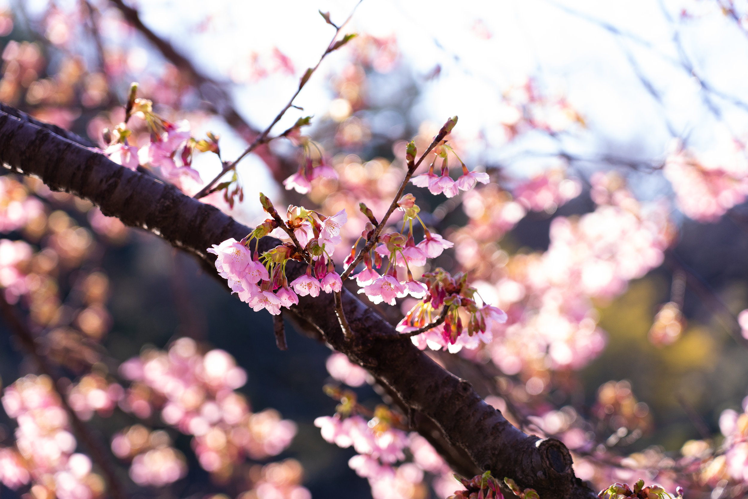 park blossoms.jpg