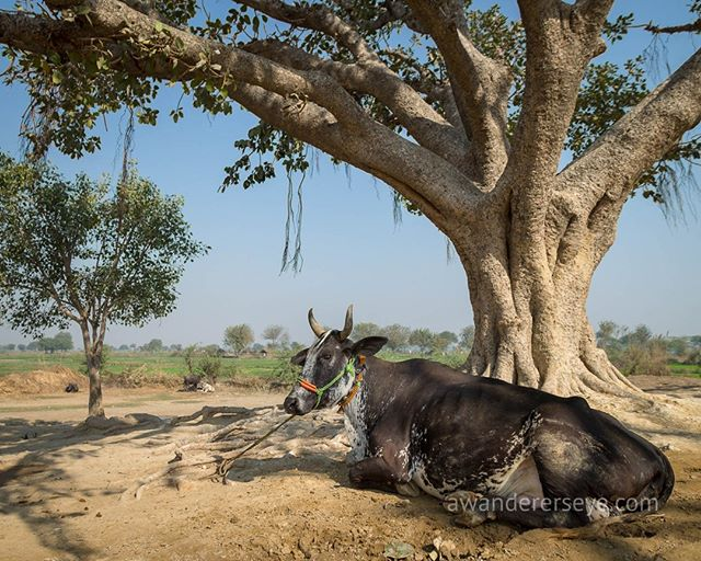 A family cow sits beneath a banyan tree on the outskirts of the village of Rawal in the Vraj Region of Uttar Pradesh India. As my mother continues her beautiful obsession with trees, I notice more and more these ancient and noble giants that give selflessly to all in need. Here they shade a way of life that is rapidly changing. ⠀⠀⠀⠀⠀⠀⠀⠀⠀ ⠀⠀⠀⠀⠀⠀⠀⠀⠀ The next generation of Rawalites will no doubt embrace the gifts of change and move with it, my hope is that they also keep the gifts they already had.
