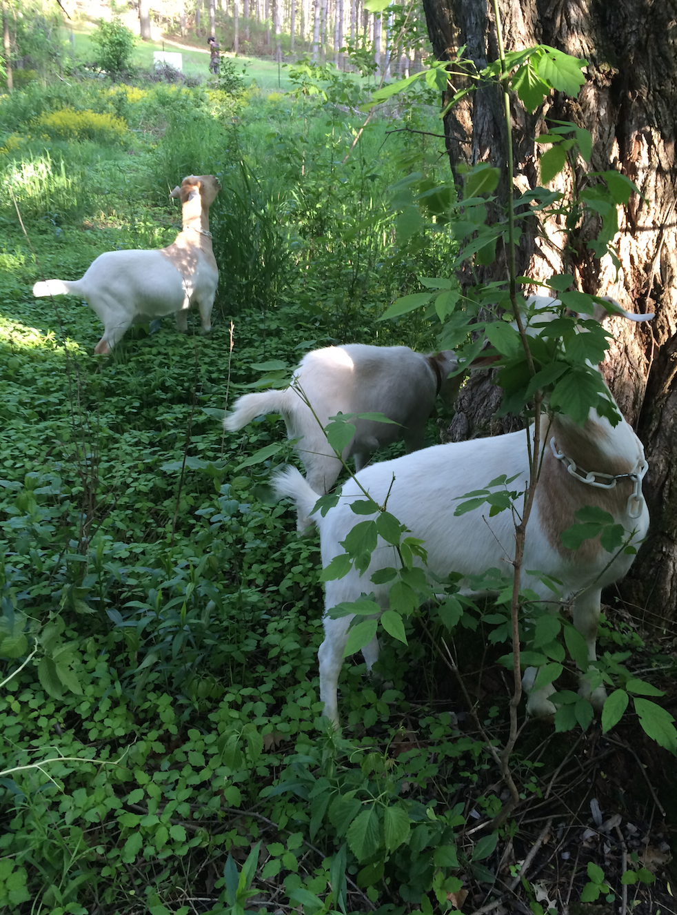 The boys bury themselves chest-deep in buckthorn, prickly ash, poison ivy and more.