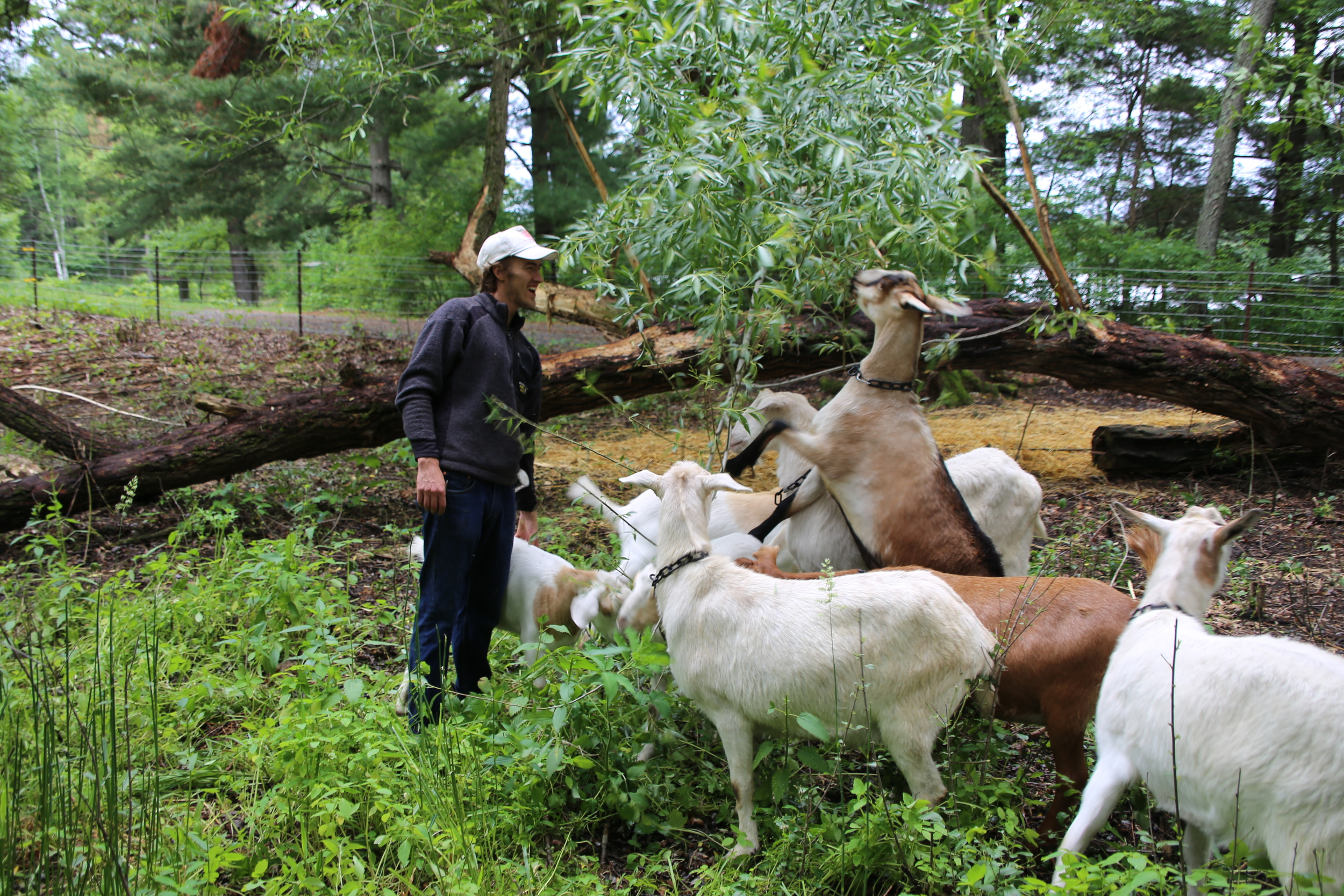 The goats and me (Eli) hanging out by the fallen (but living) willow tree in their permanent paddock. The goats love willow for its tasty leaves and the fresh growth tissue in its bark.