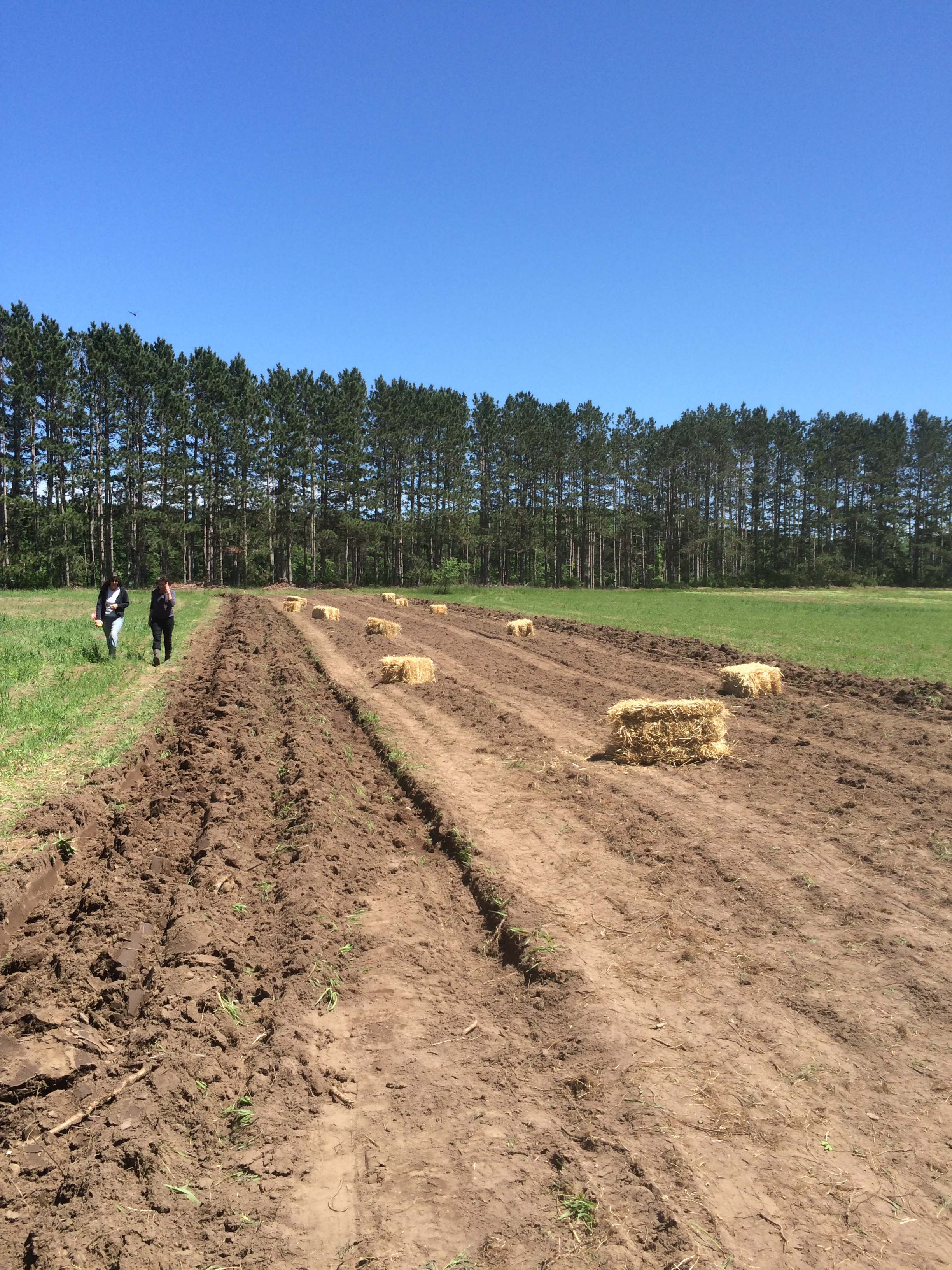 Asparagus is transplanted into the long rows that cut West-East across our North field. Straw bales will be spread over the asparagus to help them retain moisture in the hot summer days.