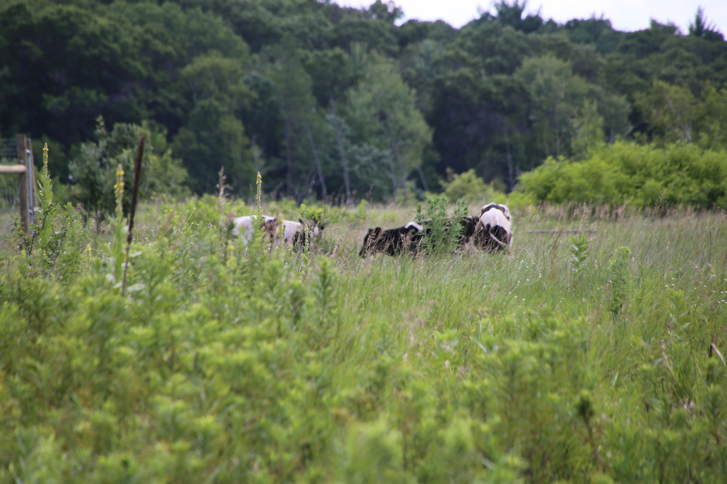 Our cows (a total of eight) grazing the South Field on July 21st, the day they arrived at LSF.