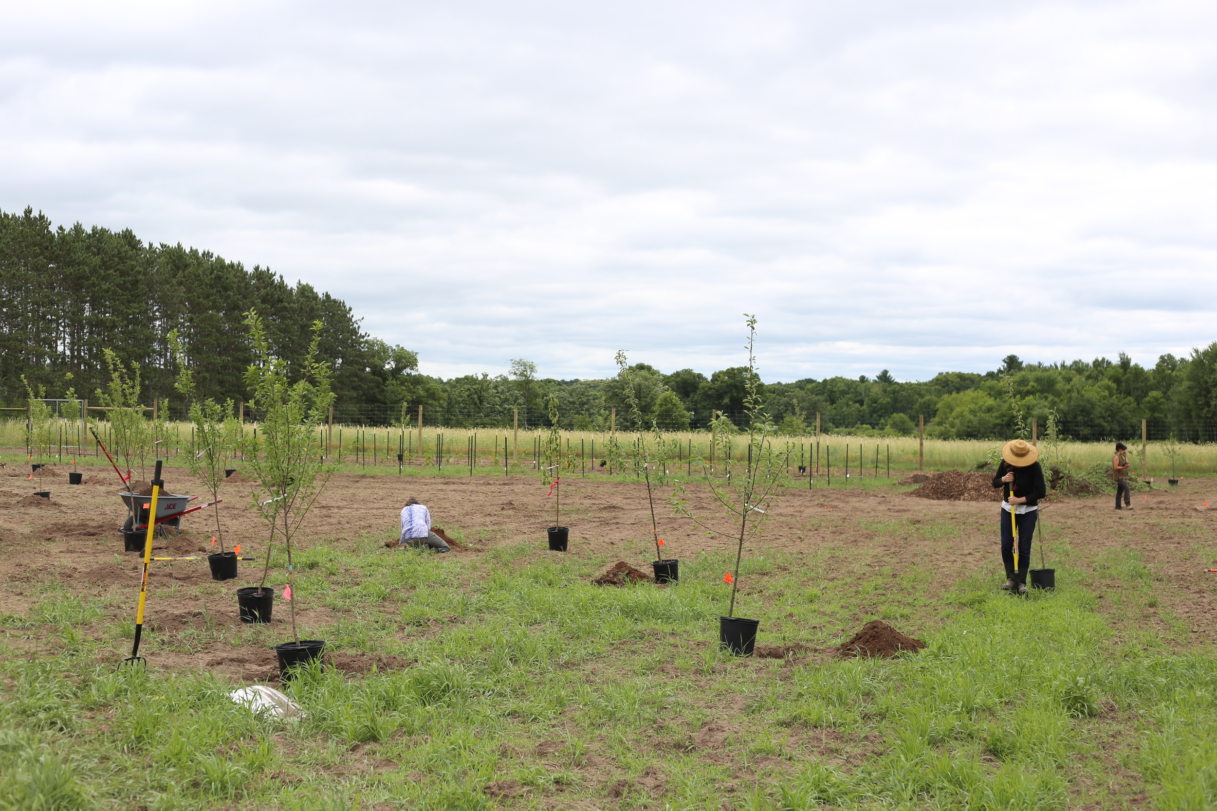 Nina,Sarah and Lindsay lend their skills to the effort as we plant a variety of apple, plum and cherry trees in the North Field. Within two days, we went from 0 to 50+ trees and bushes!