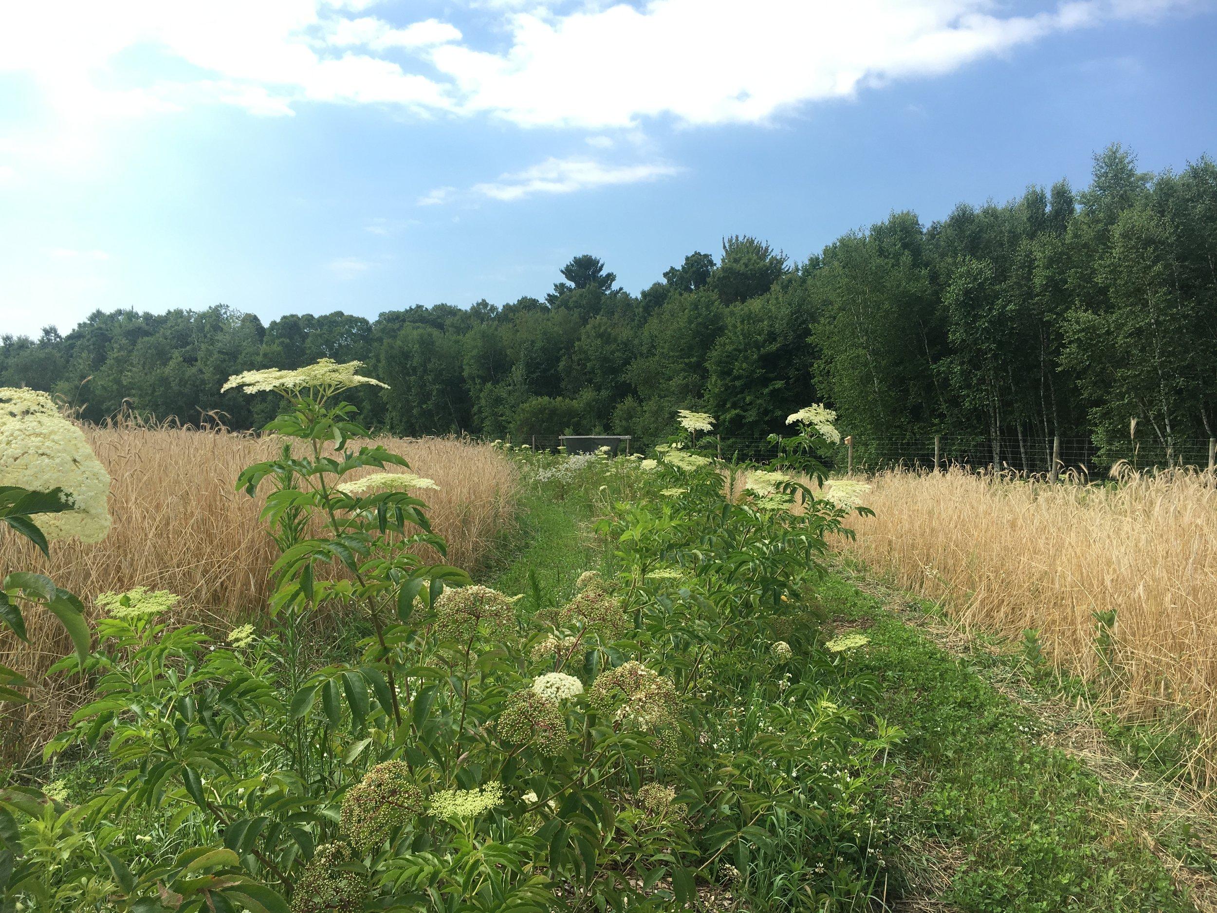 Elderberry row Rye cover crop