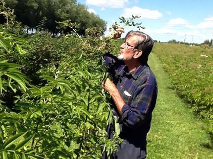 Paul and Johns variety elderberry, via Midwest Elderberry Coop.