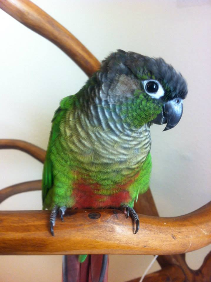 Beret is a perfect example of a Wild Type Green Cheeked Conure