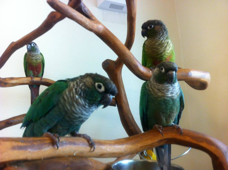 Front: Buddy and Delta, two blue Green Cheeked Conures, with Flick and Beret in the back, two normal Green Cheeked Conures.