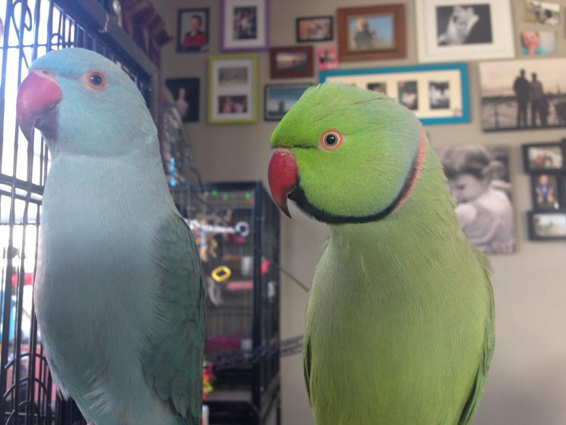 A young blue male Indian Ringneck on the left next to a mature normal male on the right. Photo courtesy of Itchyfeet.