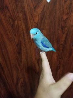 Blue male Parrotlet. Photo courtesy of TJ's Parrotlets